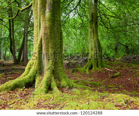 Old trees with lichen and moss in Scottish forest - stock photo