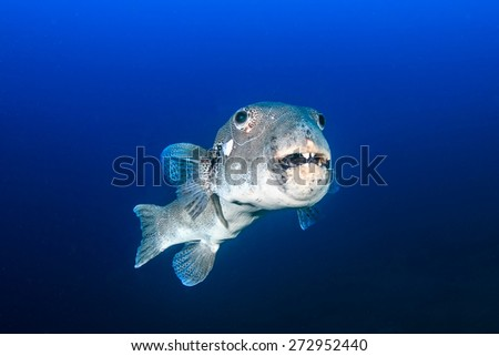 Old, ugly Starry Pufferfish in blue water - stock photo