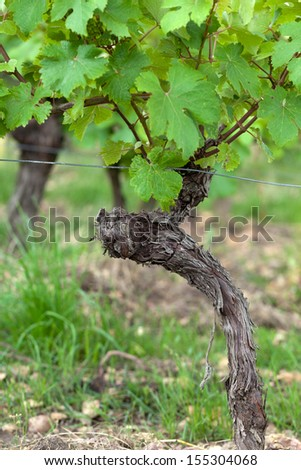 Old vines in the flowering season. Tuscany, Italy