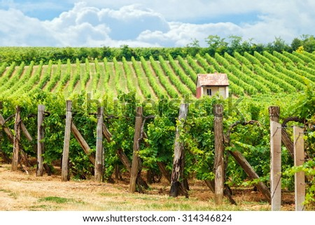 Old vineyard of Blaufankisch (blue Frankish) grape in Hungary - stock photo