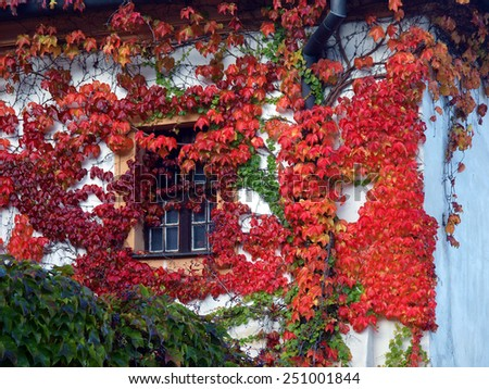 Old wall and window covered with red green and orange boston ivy leaves parthenocissus tricuspidata veitchii - stock photo