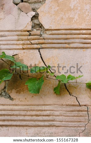 Old wall with young ivy plant - stock photo