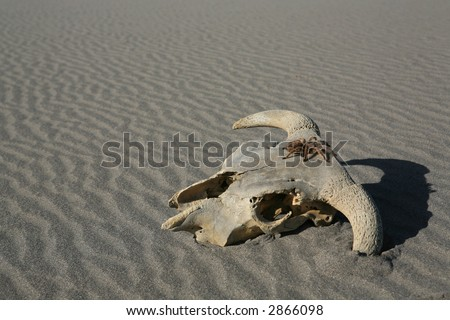Old weathered cow skull with tarantula spider on it in wavy desert sand - stock photo