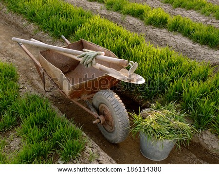 old wheelbarrow with garden tools between vegetable beds with growing wheat as green manure - stock photo