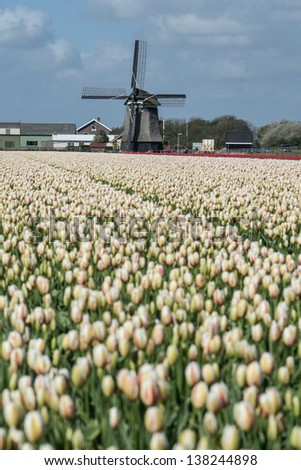 old windmill with tulips as foreground