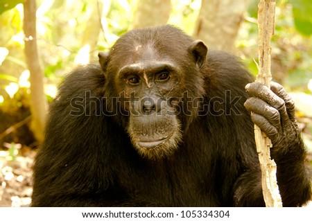 Old wise man. Chimpanzee. Mahale Mountains, Tanzania. - stock photo