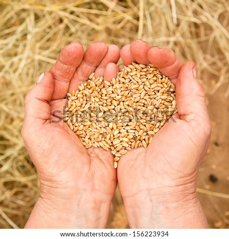 Old woman hand with seeds and wheat land - stock photo