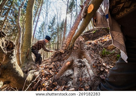 Old woodcutter trying to take down a sawn tree with an anchor winch and man power