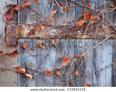 Old wooden door with vines during winter - stock photo