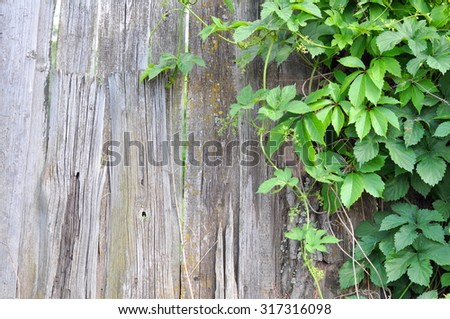 Old wooden plank fence and green plant on a Summer Residence in the Vicinities of Moscow, Russia - stock photo