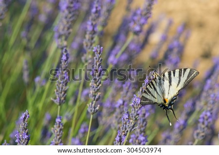 Old World swallowtail on blooming Lavender - stock photo