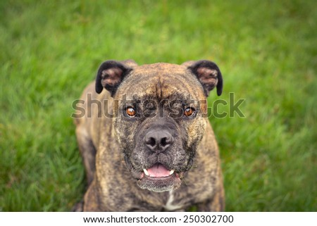 olde english bulldog - stock photo