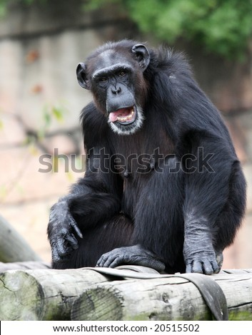 Best Chimpanzee Stock Photos, Pictures & Royalty-Free ...  |Chimp Sitting