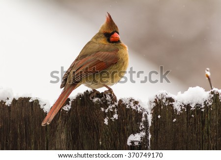 Older Female Northern Cardinal (Cardinalis cardinalis) perched on snow capped rustic wooden fence with snow flakes falling.  Cracked beak is indication of old age. - stock photo