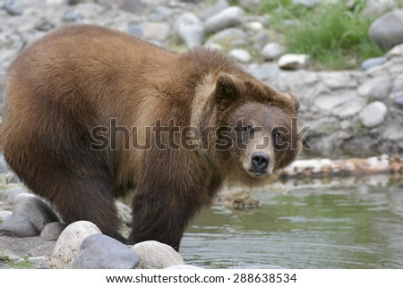 older grizzly cub - stock photo