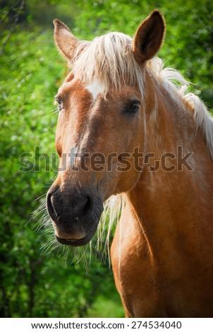 older horse - stock photo