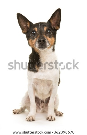 Older Jack Russell terrier dog sitting facing the camera isolated on a white background