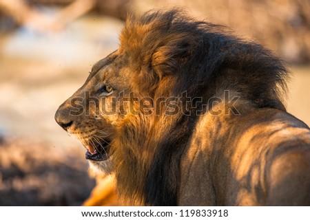 Older male lion near Kruger National Park - stock photo