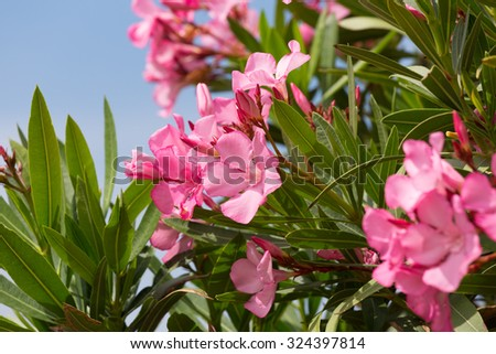 Oleander bush with pink flowers against the blue sky - stock photo