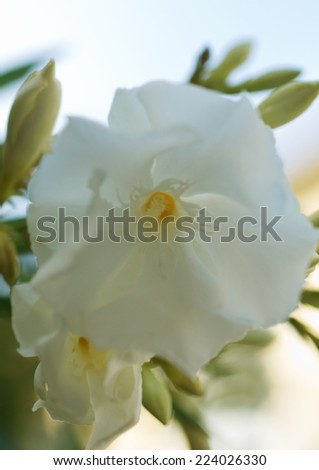 Oleander flower close up stock photo