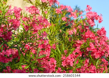 Oleander Flowers - stock photo