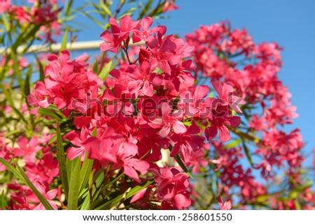 Oleander Flowers - stock photo
