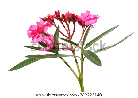 Oleander flowers ( Nerium oleander, Apocynaceae )The blossoming branch of a pink oleander isolated on a white background - stock photo