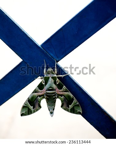 Oleander hawk moth (Daphnis nerii), large night butterfly with green army color and lines pattern under morning sunlight on a blue color painted metal fence isolated with bright white background - stock photo