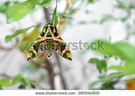 Oleander hawk-moth or Army green-moth (Daphnis Nerii) - stock photo