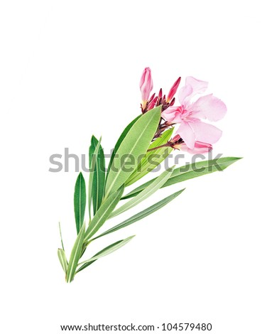 oleander L. - stock photo