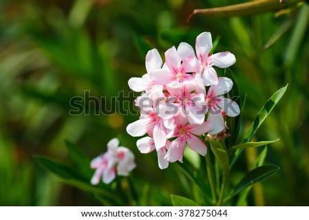 Oleander shrub, pink rose flowers with leaves. Nerium oleander - stock photo