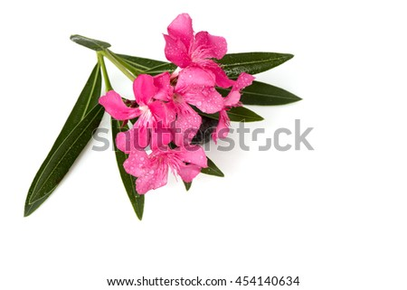 Oleander, Sweet Oleander, Rose Bay (Nerium oleander L.) plants, herbs have medicinal properties, and the plant is poisonous oleander leaves used as rat poison and insecticides. - stock photo