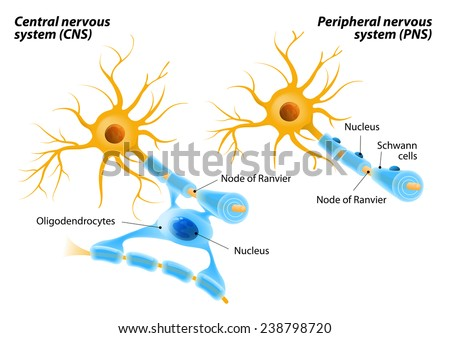 Oligodendrocytes unlike Schwann cells form segments of myelin sheaths of numerous neurons at once. Oligodendrocytes in the central nervous system and  Schwann cells in the peripheral nervous system. - stock photo