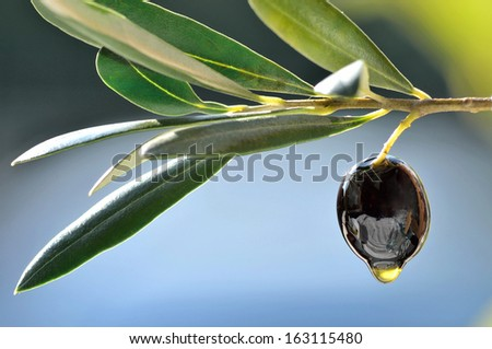 Olive and olive oil drop closeup copy space.Fresh pressed extra virgin olive oil.Olive oil background. - stock photo