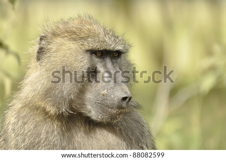 Olive Baboon in Kenya Posing - stock photo