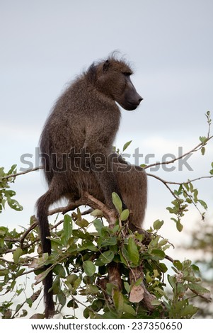 Olive Baboon on the tree. South Africa, Kruger National Park. - stock photo
