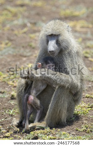 Olive Baboon (Papio anubis) mother with young in her arms, Lake Manyara national park, Tanzania. - stock photo