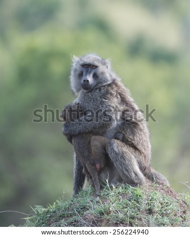 olive baboon sitting on termite mount.  - stock photo