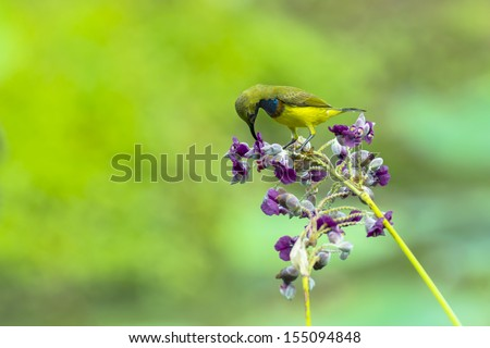 Olive-backed sunbird drink nectar from Powdery thalia flower