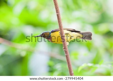 Olive-backed sunbird, Yellow-bellied sunbird; - stock photo