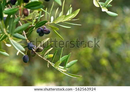 Olive branch and tree, ready for harvesting - stock photo