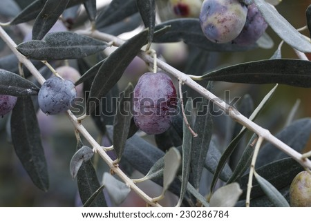 Olive branch. /  Branch of black olives. / Olives on olive tree in autumn. / Season nature image.  - stock photo