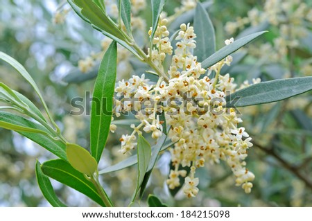 Olive branch filled with emerging flowers and buds - stock photo