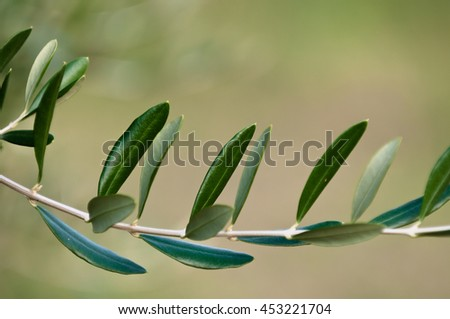 Olive branch in sunny, autumn day, Italy - stock photo