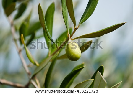 Olive branch in sunny, autumn day, Italy
