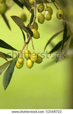 Olive branch on an organic farm garden tree - stock photo