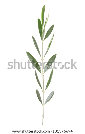 Olive branch peace symbol isolated on white, clipping path included - stock photo