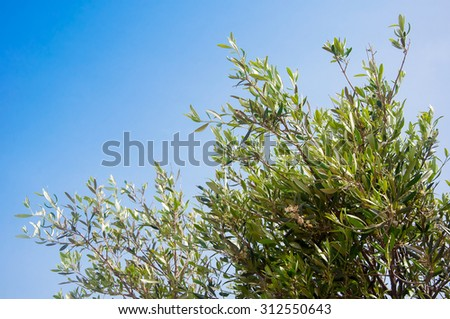 Olive branch with green leaves on a background of blue sky - a symbol of Greec