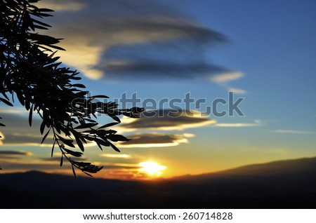 olive branches at sunset - stock photo