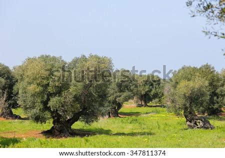 Olive garden with green grass near Ostuni, Puglia, South Italy. - stock photo